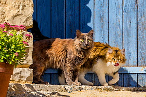 Semi-longhaired calico and tortoiseshell cats in front of blue door with Stonecrop (Sedum spectabile), Provence, France. - Klein & Hubert