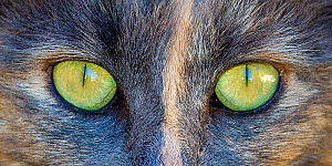 Close up of eyes of a semi-longhaired tortoiseshell cat (Felis silvestris catus), Provence, France. - Klein & Hubert