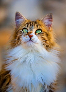 Semi-longhaired calico cat (Felis silvestris catus) head portrait looking up, Provence, France. - Klein & Hubert
