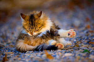 Semi-longhaired calico cat (Felis silvestris catus) cleaning herself, Provence, France. - Klein & Hubert