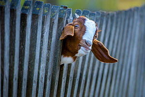Boer goat (Capra aegagrus hircus) head portrait of kid looking through wooden fence, Germany. - Klein & Hubert