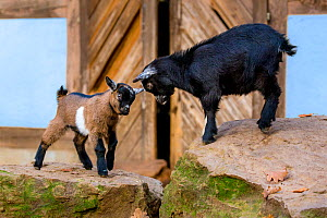 Miniature goat (Capra aegagrus hircus) kids playing in front of barn, Germany.  -  Klein & Hubert