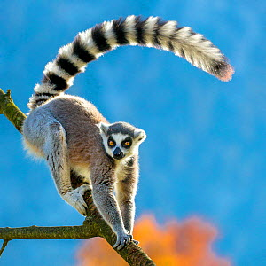 Ring-tailed lemur (Lemur catta) in tree, Madagascar - Klein & Hubert