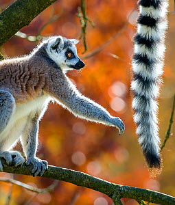 Ring-tailed lemur (Lemur catta) reaching out to the tail of other lemur, Madagascar - Klein & Hubert
