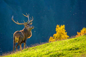 Red deer (Cervus elaphus) stag standing on alpine meadow in autumn with spider web between antlers and insects flying in evening light, Germany Captive.  -  Klein & Hubert