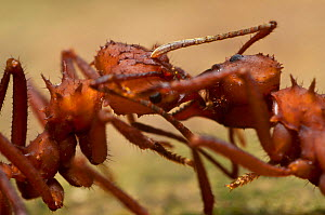 Two Leafcutter ants (Atta) transferring food, Guadeloupe National Park, Guadeloupe. - James Dunbar