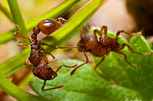 Red ant (Myrmica rugidonis) killing another of the same species, Bristol, April.  -  James Dunbar