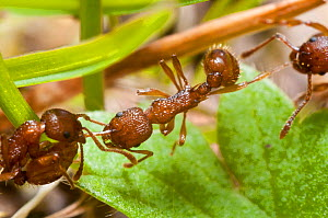 Red ant (Myrmica rugidonis) killing another of the same species, Bristol, UK, April.  -  James Dunbar