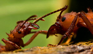 Leaf cutter ant (Atta sp.) fighting another ant, Guadeloupe National Park, Guadeloupe, Leeward Islands. - James Dunbar