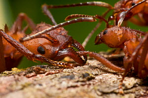 Leaf Cutter ant (Atta sp.) killing another ant. Guadeloupe National Park, Guadeloupe, Leeward Islands. - James Dunbar