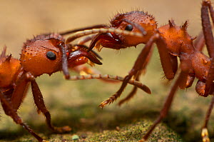 Leaf cutter ants (Atta sp.) communicating. Guadeloupe National Park, Guadeloupe, Leeward Islands. - James Dunbar