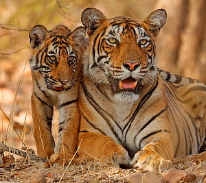 Bengal tiger (Panthera tigris tigris) mother with cub age four months,Ranthambhore, Rajhasthan, India  -  Andy  Rouse