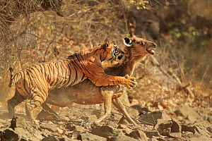 Bengal tiger (Panthera tigris tigris) female 'Noor T19' bringing down Sambar deer (Rusa unicolor) Ranthambhore, India. Sequence 6 of 18. - Andy  Rouse