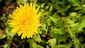 Rotating timelapse of a Common dandelion (Taraxacum officinale) flower opening, UK. Controlled conditions. - John Waters