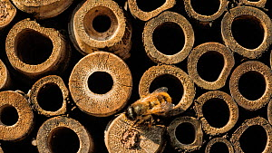 Timelapse of Red mason bees (Osmia rufa) outside a bamboo bug box, Somerset, England, UK. May. - John Waters