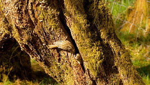 Eurasian treecreeper (Certhia familiaris) feeding young in a nest crevice, removes a faecal sac, Carmarthenshire, Wales, UK. May. - Dave Bevan
