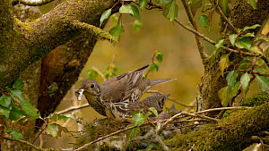 Female Mistle thrush (Turdus viscivorus) feeding chicks and swallowing faecal sacs, Carmarthenshire, Wales, UK, May. - Dave Bevan