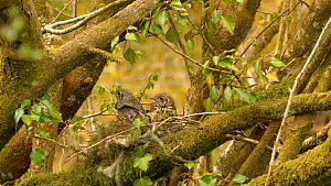 Mistle thrush (Turdus viscivorus) fledglings flying from nest, Carmarthenshire, Wales, UK. May. - Dave Bevan