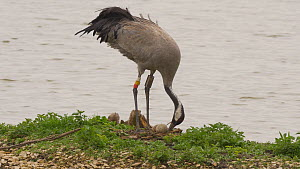 Female Common crane (Grus grus) rearranging nest and turning eggs before settling down to incubate, Gloucestershire, England, UK, May.  -  Dave Bevan
