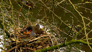 Female Moorhen (Gallinula chloropus) siting on nest, accepts leaves from her mate and incorporates them into the side, Gloucestershire, England, UK. May.  -  Dave Bevan