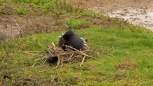 Female Moorhen (Gallinula chloropus) incubating chicks at nest, with a male bringing food, Worcestershire, England, UK. May.  -  Dave Bevan