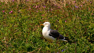 Lesser black backed gull (Larus fuscus) preening, Pembrokeshire, Wales, UK. April. - Dave Bevan