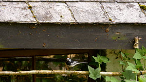 Pair of Pied wagtails (Motacilla alba) bringing food to nest in the eaves of a building, Carmarthenshire, Wales, UK. April.  -  Dave Bevan
