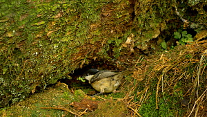 Coal tit (Periparus ater) flying to nest with food, Carmarthenshire, Wales, UK. May.  -  Dave Bevan