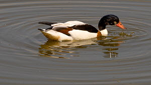 Shelduck (Tadorna tadorna) feeding in shallow water, Gloucestershire, England, UK. May.  -  Dave Bevan