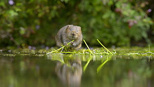 Water vole (Arvicola amphibius) feeding on White water-crowfoot (Ranunculus aquatilis), Kent, England, UK. October. - Terry  Whittaker