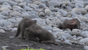 Arctic fox (Alopex lagopus) cubs playing, Hornvik, Hornstrandir, West Fjords, Iceland. April.  -  Terry  Whittaker