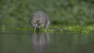 Water vole (Arvicola amphibius) feeding on Whitewater-crowfoot (Ranunculus aquatilis), Kent, England, UK. October. - Terry  Whittaker