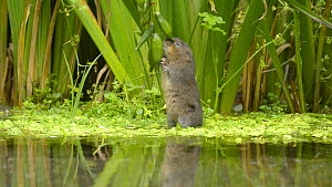 Water vole (Arvicola amphibius) feeding on seed pods of Flag iris (Iris pseudacorus ), Kent, England, UK. October. - Terry  Whittaker