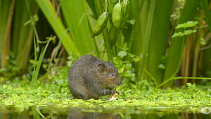 Water vole (Arvicola amphibius) feeding on Yellow flag iris (Iris pseudacorus) seed pods, Kent, England, UK. October. - Terry  Whittaker
