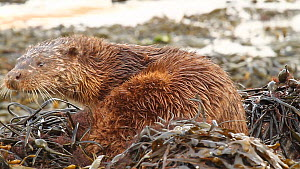 Close-up of a Common otter (Lutra lutra) grooming and rolling in seaweed, Western Scotland. March. - Jim Manthorpe