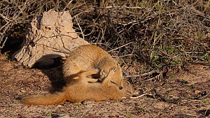 Juvenile Yellow mongoose (Cynictis penicillata) playing with adult, Kgalagadi Transfrontier Park, Northern Cape, South Africa. - Ann  & Steve Toon