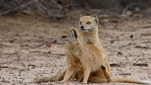 Pair of Yellow mongeese (Cynictis penicillata) mating, Kgalagadi Transfrontier Park, Northern Cape, South Africa. - Ann  & Steve Toon