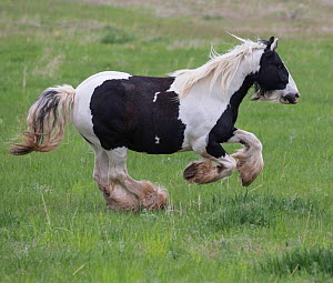 Overweight Gypsy vanner mare, aged 11 years at Happy Dog Ranch horse rescue, Littleton, Colorado. May.  -  Carol Walker