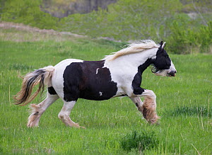 Overweight Gypsy vanner mare, aged 11 years at Happy Dog Ranch horse rescue, Littleton, Colorado.  -  Carol Walker