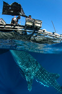 Whale Shark (Rhincodon typus) feeding at Bagan (floating fishing platform) Cenderawasih Bay, West Papua, Indonesia. Bagan fishermen see whale sharks as good luck and often feed them baitfish. This is...  -  Pete Oxford