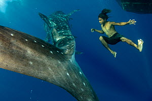 Whale Shark (Rhincodon typus) and local fisherman freediving, Cenderawasih Bay, West Papua, Indonesia. Winner of the Man and Nature Portfolio Award in the Terre Sauvage Nature Images Awards Competitio...  -  Pete Oxford