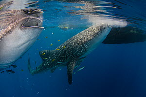 Whale sharks (Rhincodon typus) feeding at Bagan (floating fishing platform) Cenderawasih Bay, West Papua, Indonesia. Bagan fishermen see whale sharks as good luck and often feed them baitfish. This is...  -  Pete Oxford