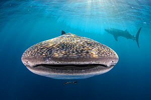 Whale shark (Rhincodon typus) front view portrait, Cenderawasih Bay, West Papua. Indonesia.  -  Pete Oxford