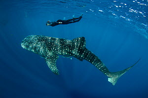 Whale Shark (Rhincodon typus) with scuba diver, Cenderawasih Bay, West Papua, Indonesia. - Pete Oxford
