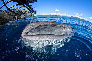 Whale Shark (Rhincodon typus) feeding at Bagan (floating fishing platform),  Cenderawasih Bay, West Papua, Indonesia. Winner of the Man and Nature Portfolio Award in the Terre Sauvage Nature Images Aw...  -  Pete Oxford