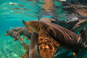 Group of Nurse shark (Ginglymostoma cirratum)  Shark Ray Alley, Hol Chan Marine Reserve, Belize.  -  Pete Oxford
