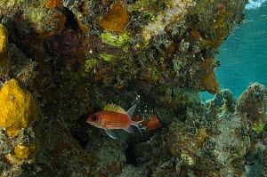 Squirrelfish (Holocentrus adscensionis) Halfmoon Caye, Lighthouse Reef Atoll. Belize.  -  Pete Oxford