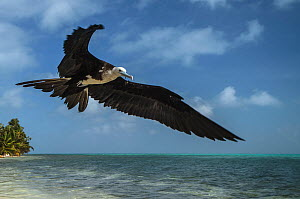 Magnificent frigatebird (Fregata magnificens) in flight, Halfmoon Caye, Lighthouse Reef Atoll, Belize. - Pete Oxford