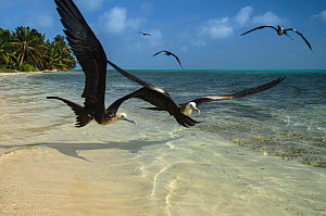 Magnificent frigatebirds (Fregata magnificens) in flight over shallow water, Halfmoon Caye, Lighthouse Reef Atoll, Belize. - Pete Oxford
