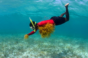 Snorkeller collecting edible algae (Eucheuma sp.) Lighthouse Reef Atoll. Belize.  May 2015.  -  Pete Oxford